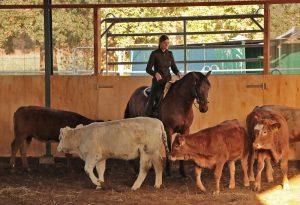 Gangpferde Vierhaus - Tageskurs Gewöhnung an Rinder